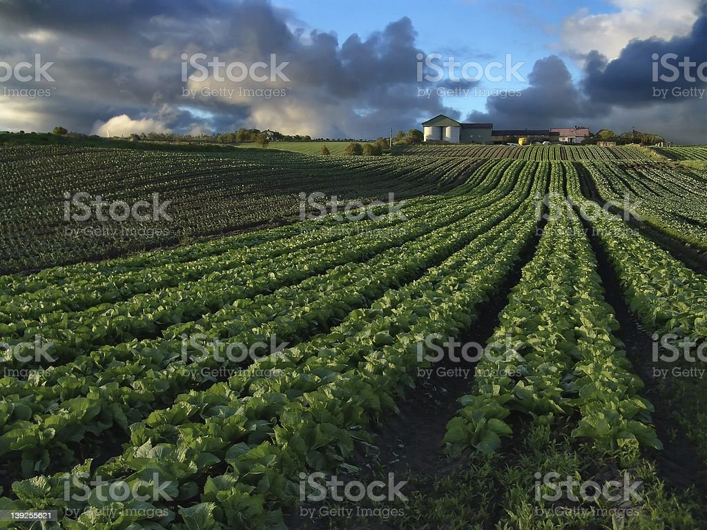 Field of crops with clouds and farm in the distance stock photo