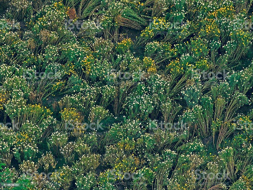 field of Crysanthemum flowers stock photo
