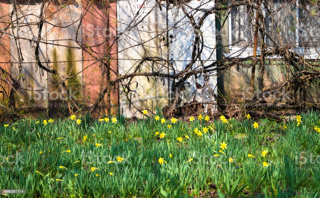 field of daffodils in the country outside the city stock photo