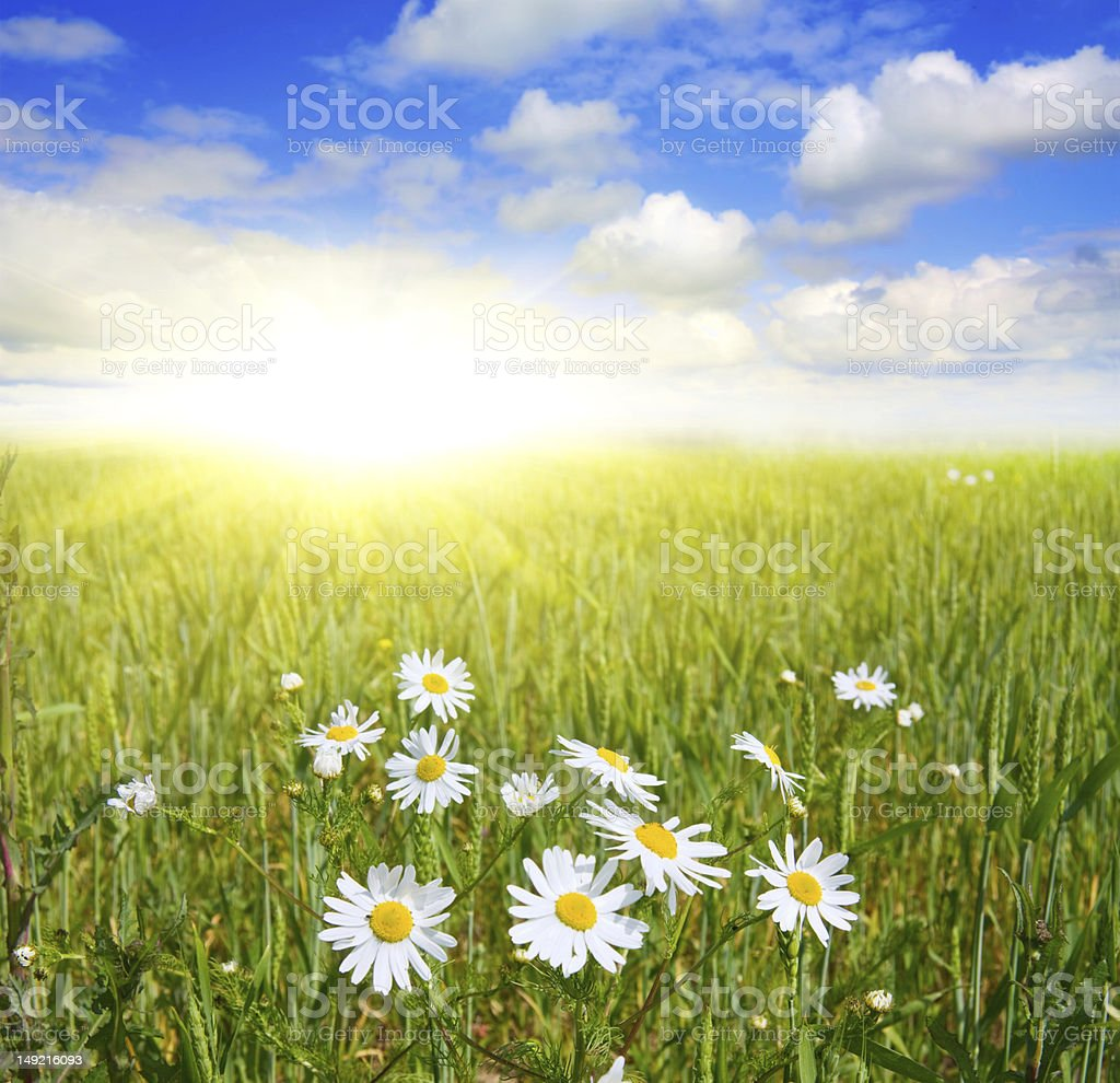 field of daisies and blue sky royalty-free stock photo