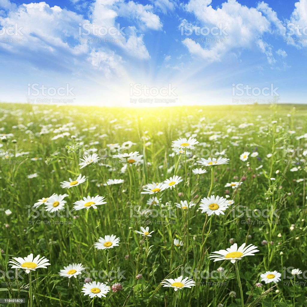 Field of daisies at summer day. stock photo