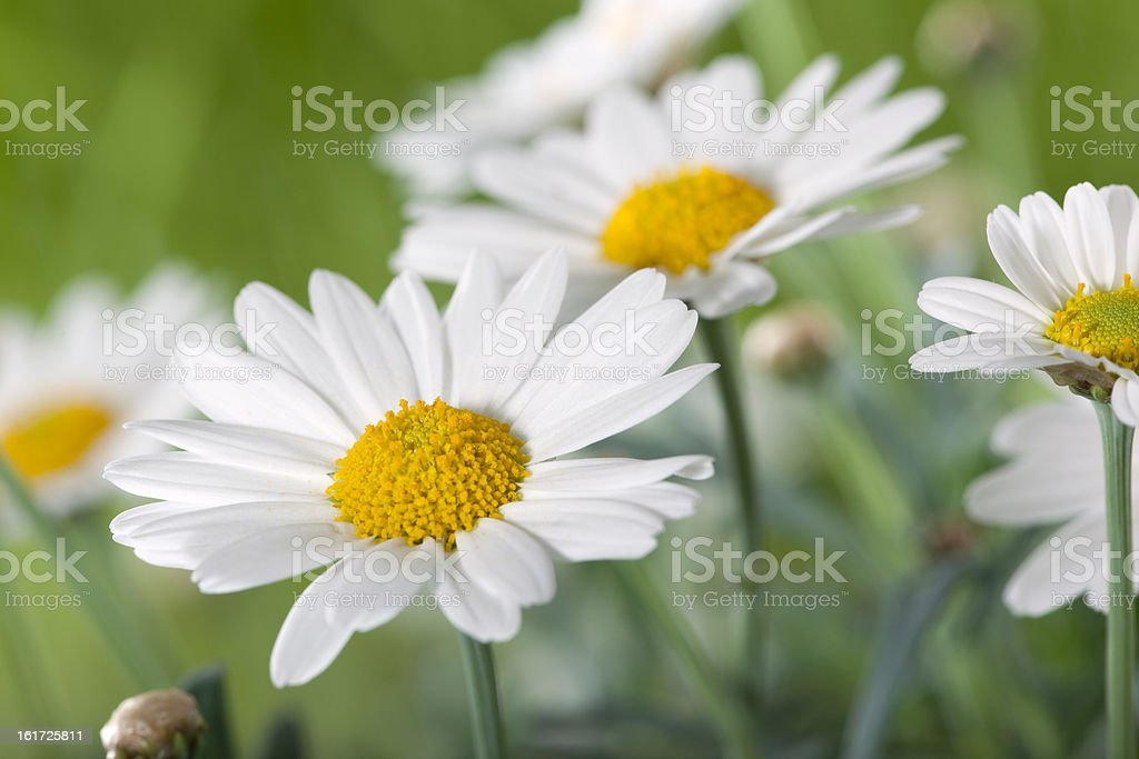 field of daisy flowers stock photo