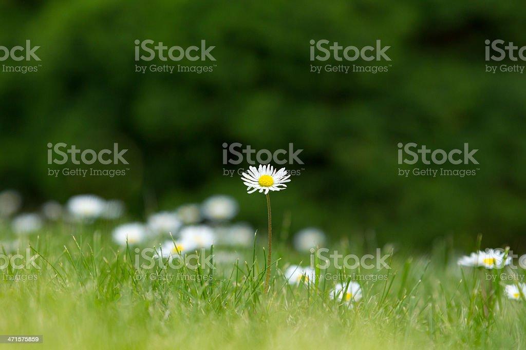 field of daisy flowers royalty-free stock photo