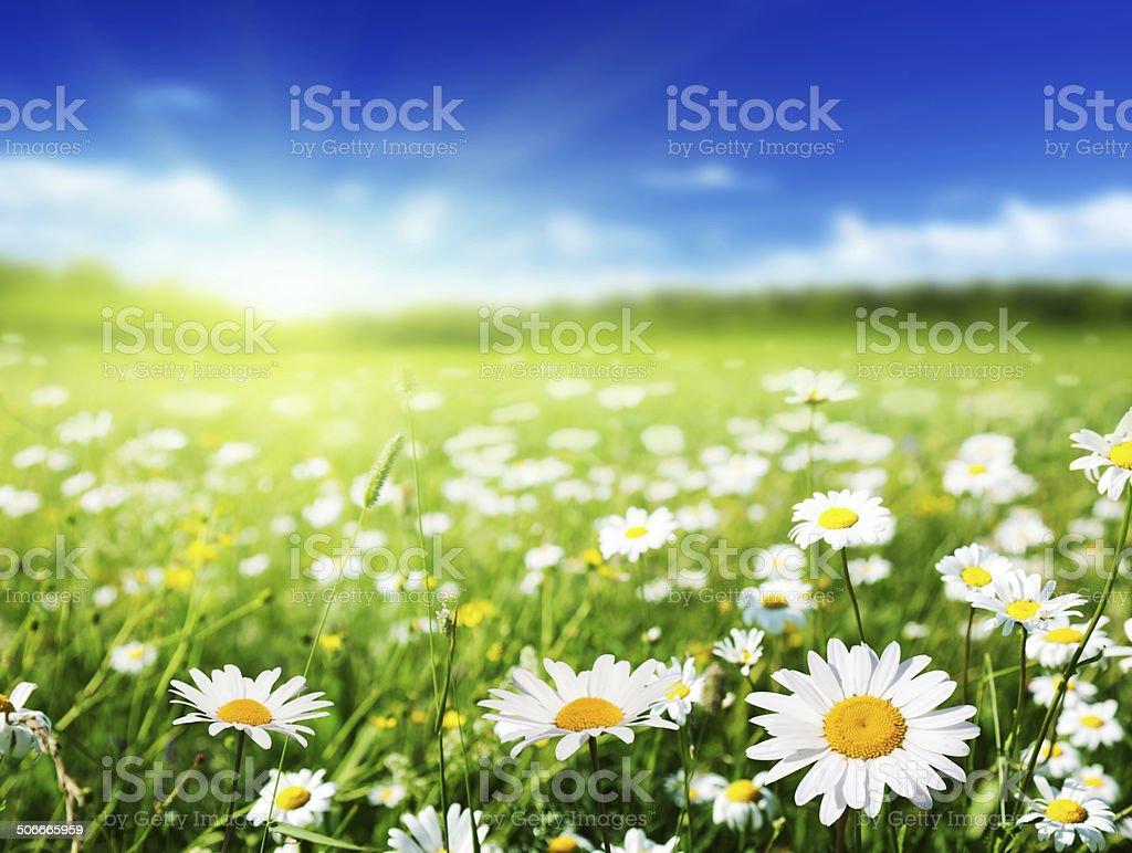 field of daisy flowers stock photo