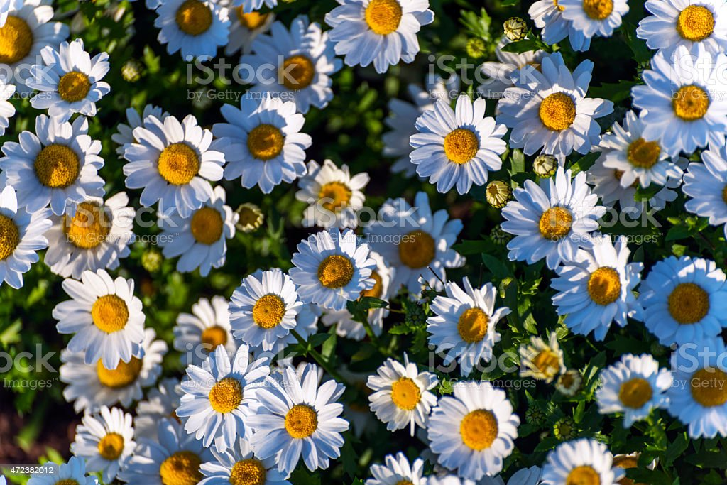 Field of Daisy in Garden stock photo