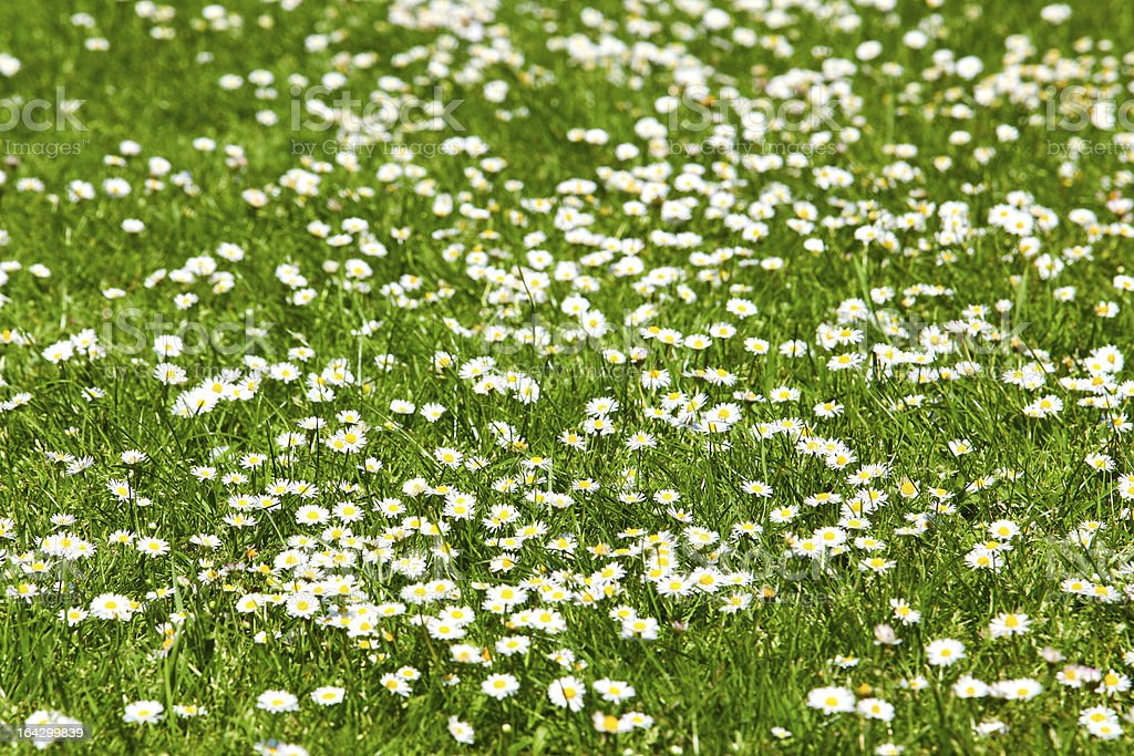field of daisyes.  Green grass and chamomiles in the nature royalty-free stock photo