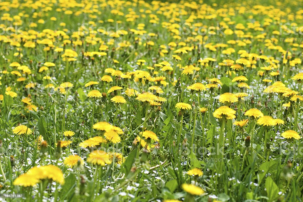 Field of dandelions royalty-free stock photo