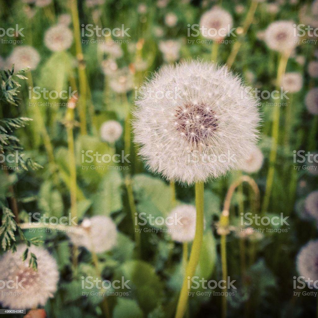 Field of dandelions. stock photo