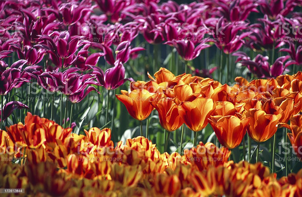 Field of different colored tulips stock photo
