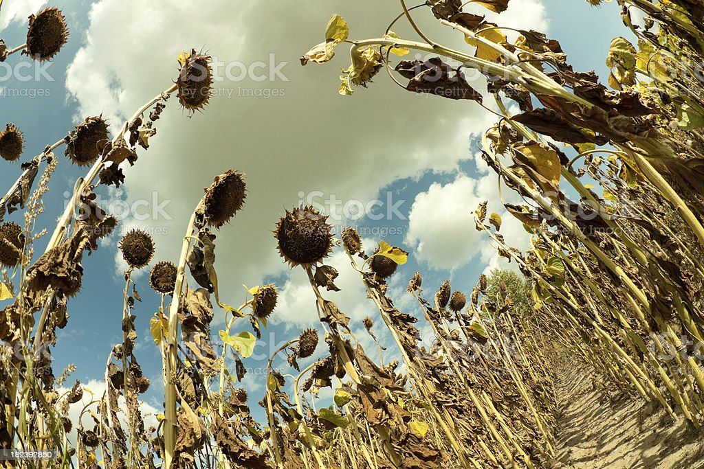 Field of dried Sunflowers. (Fisheye Lens) royalty-free stock photo