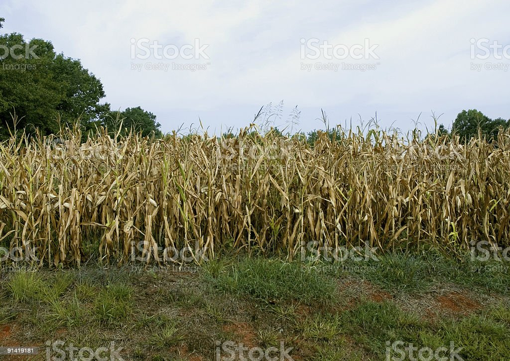 Field of Dry Corn royalty-free stock photo