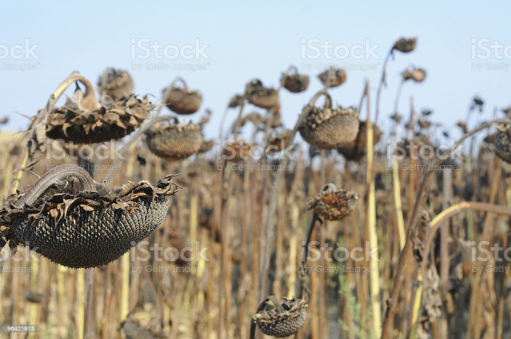 Field of drying sunflowers in Tuscany, Italy royalty-free stock photo