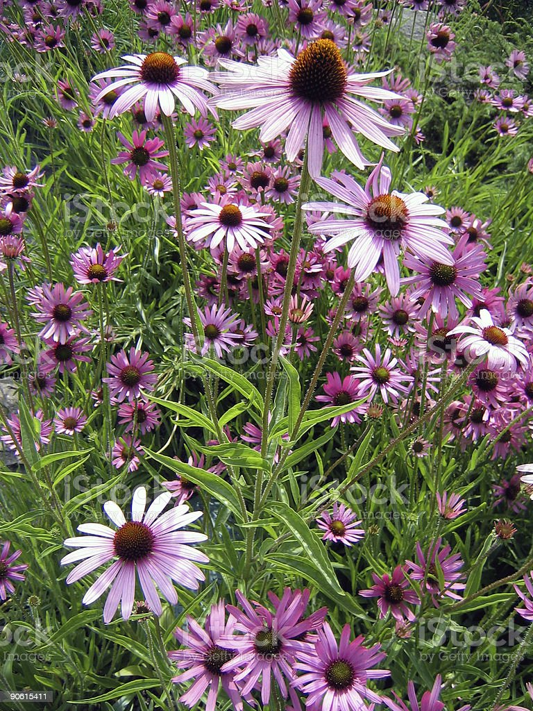 Field of Echinacea flowers royalty-free stock photo