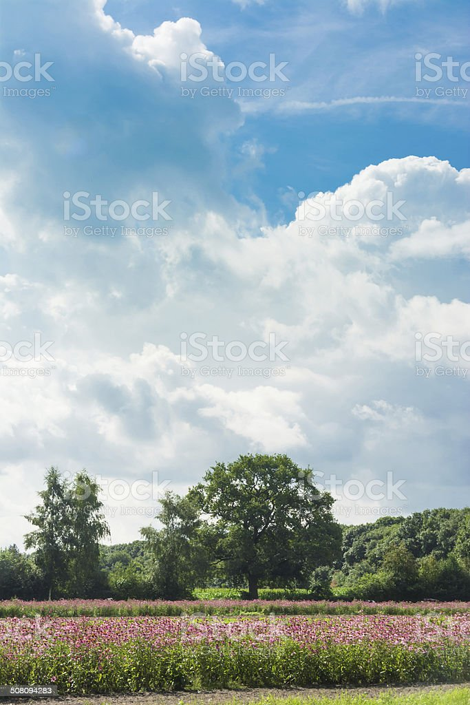 field of ehinacea flowers royalty-free stock photo