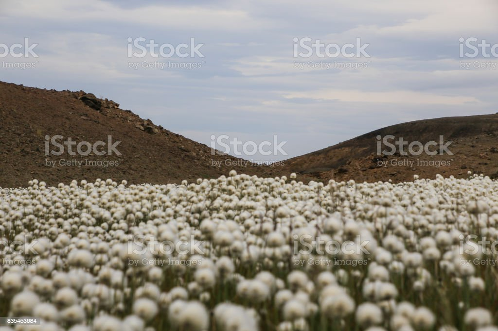 Field of Eriophorum (cottongrass) and hills in Iceland stock photo