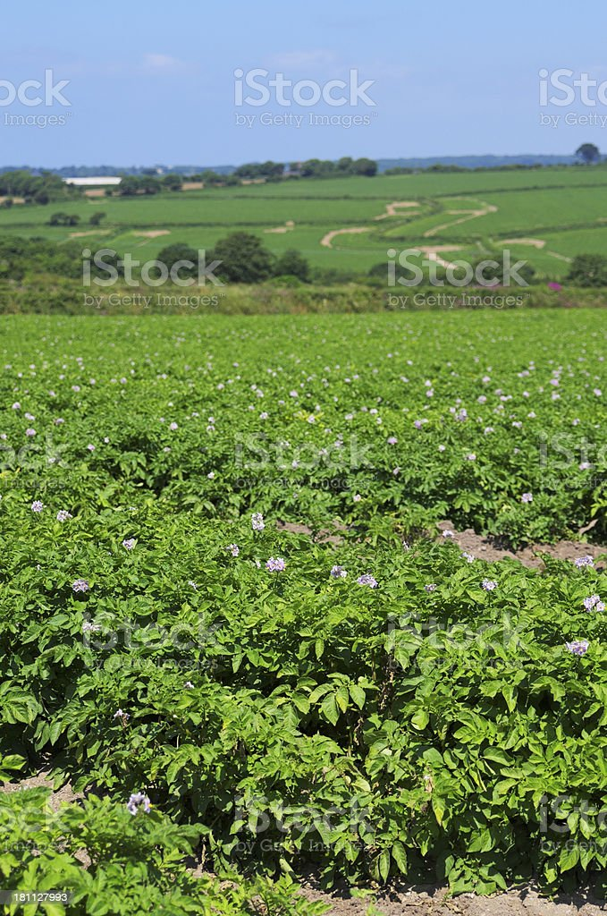 Field Of Flowered Potato Plants royalty-free stock photo