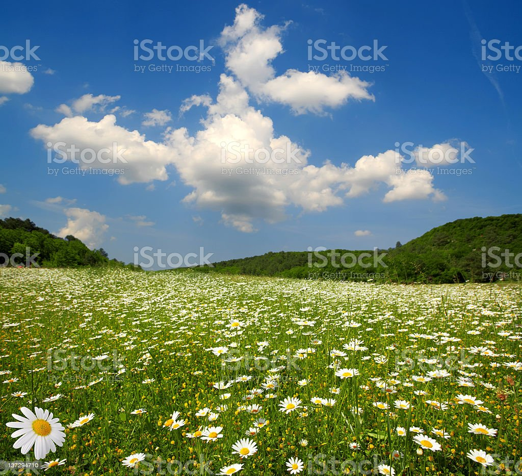 field of flowering camomiles royalty-free stock photo