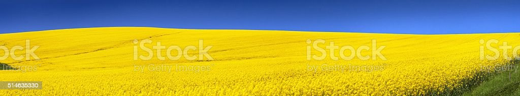 field of flowering rapeseed with blue sky - brassica napus stock photo