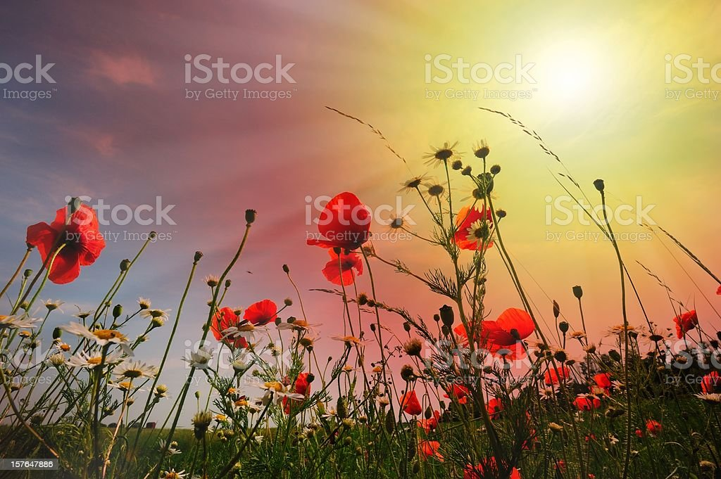 Field of flowers against low sun and sky royalty-free stock photo