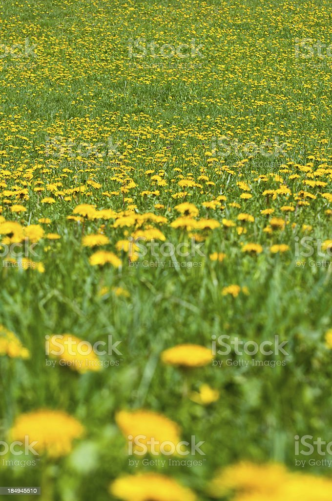 Field of Flowers Background royalty-free stock photo