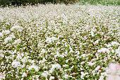 Field of Flowers buckwheat at Ha Giang, Viet Nam