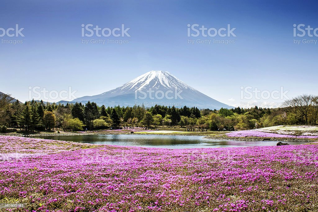 Field of flowers by a lake overlooking Fuji Mountain stock photo