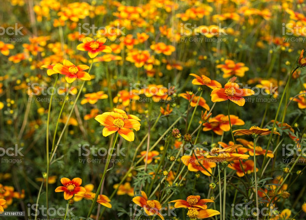field of flowers called Bidens Ricadente in spring stock photo