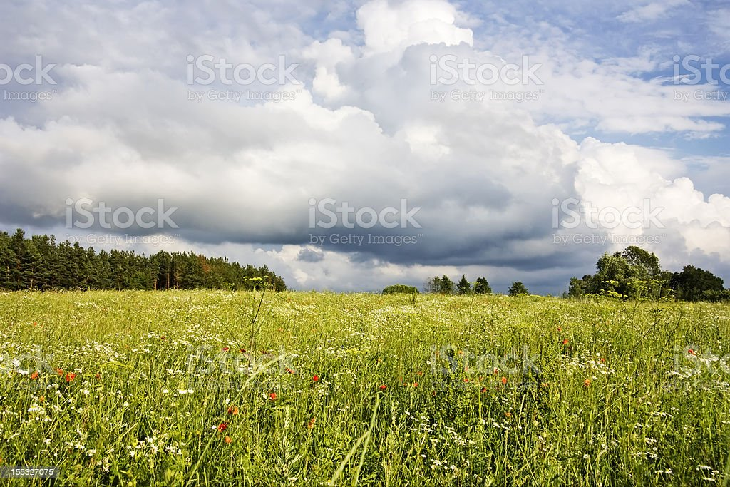 field of flowers, summer landscape royalty-free stock photo