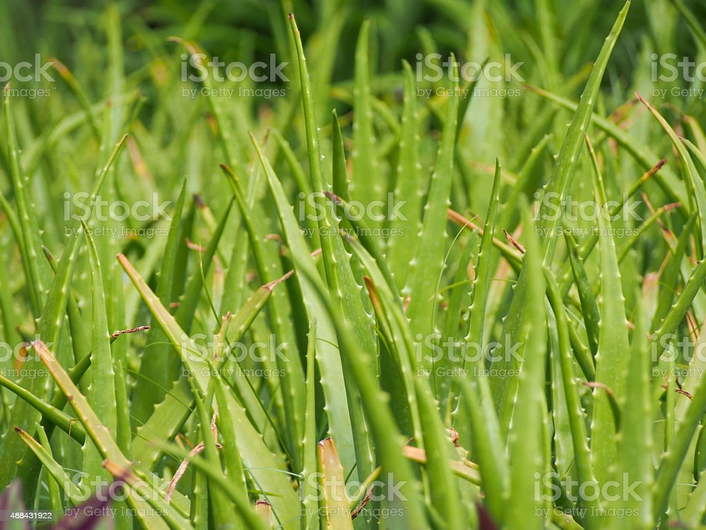 Field of freen Alovera for face mask and body spa stock photo