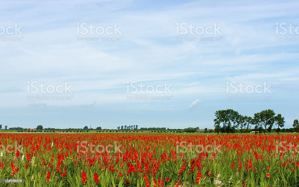 field of gladiolus royalty-free stock photo