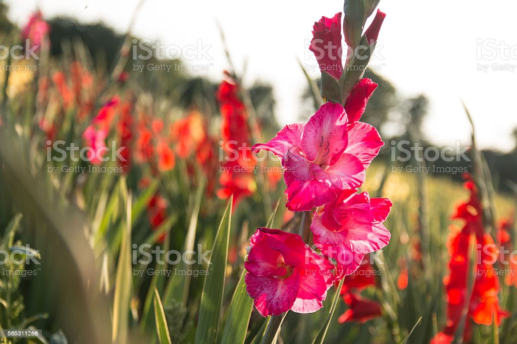 Field of gladiolus stock photo
