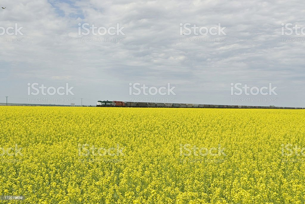 field of gold 2 royalty-free stock photo