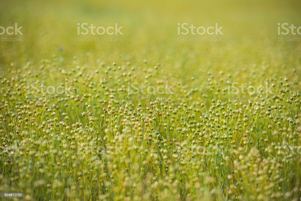 Field of golden flax seeds stock photo