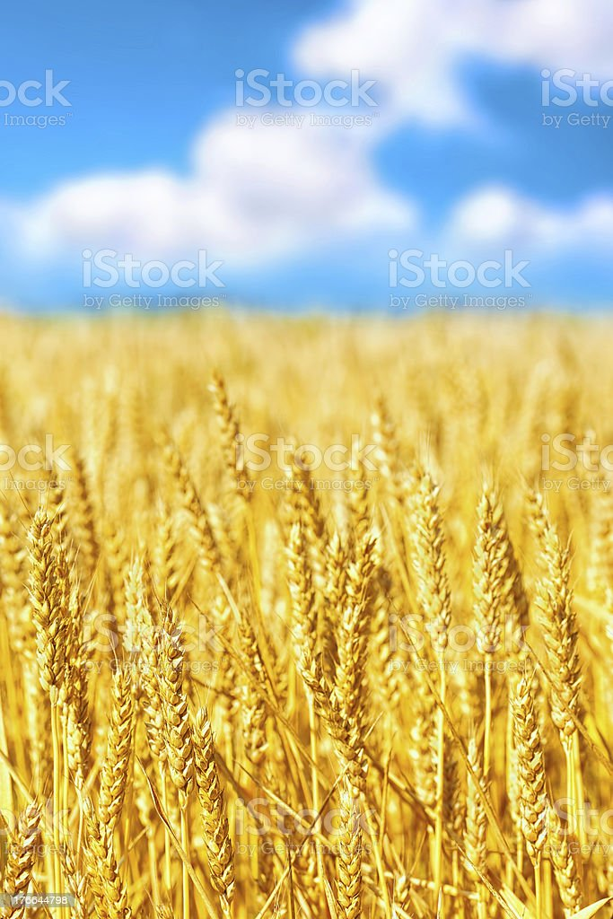 Field of golden rye close-up royalty-free stock photo