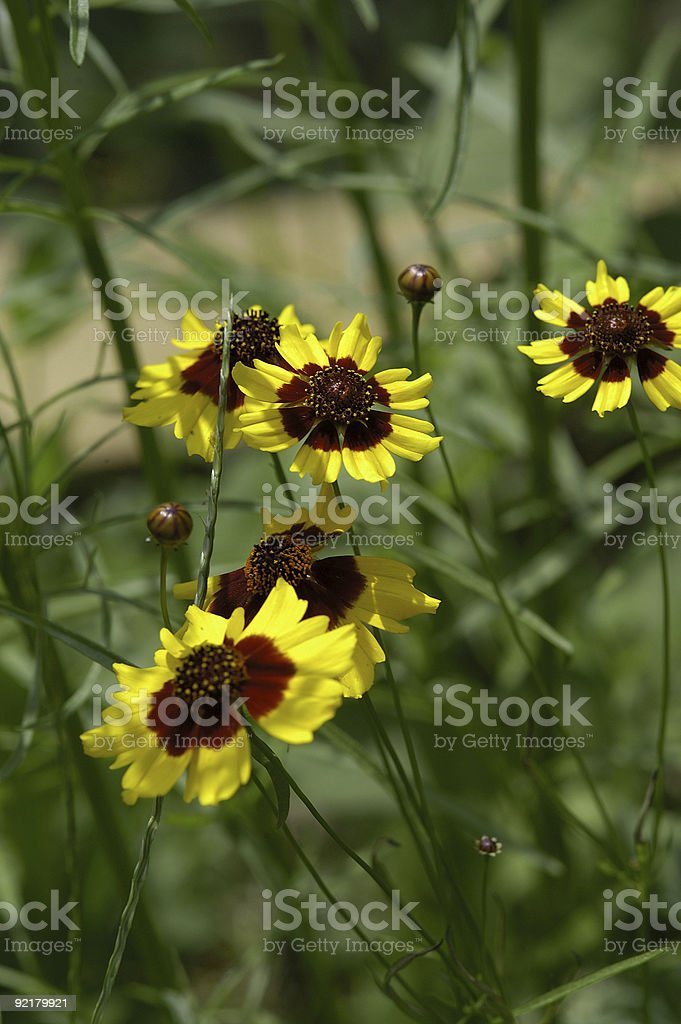 field of goldenwave royalty-free stock photo