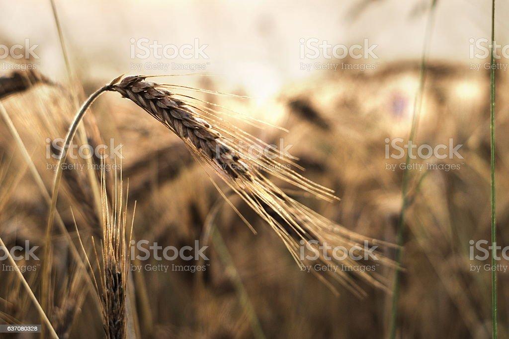 Field of grain at sunset stock photo