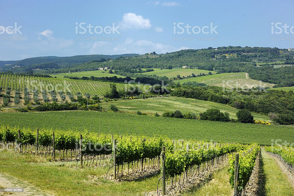 A field of grapes for wine at a vineyard stock photo