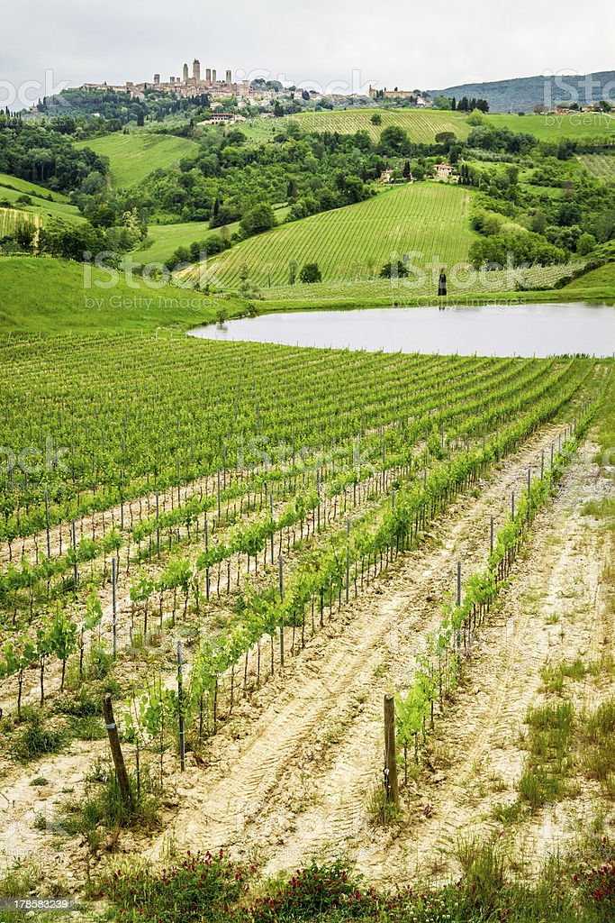 Field of grapes on a pond in San Gimignano royalty-free stock photo