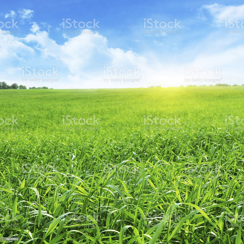 Field of grass and blue sky with sun. stock photo