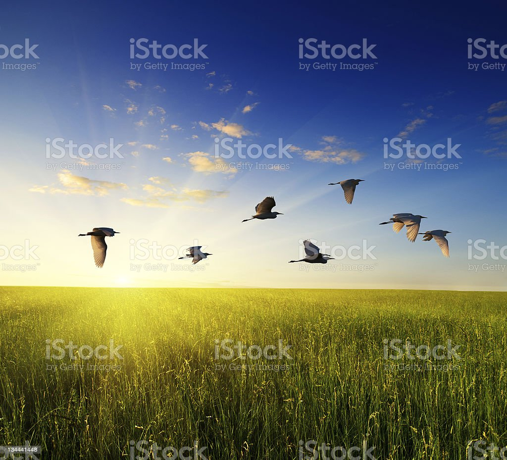 field of grass and flying birds royalty-free stock photo