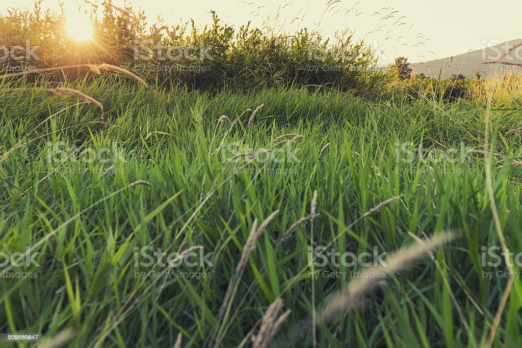 Field Of Grass At Sunset royalty-free stock photo
