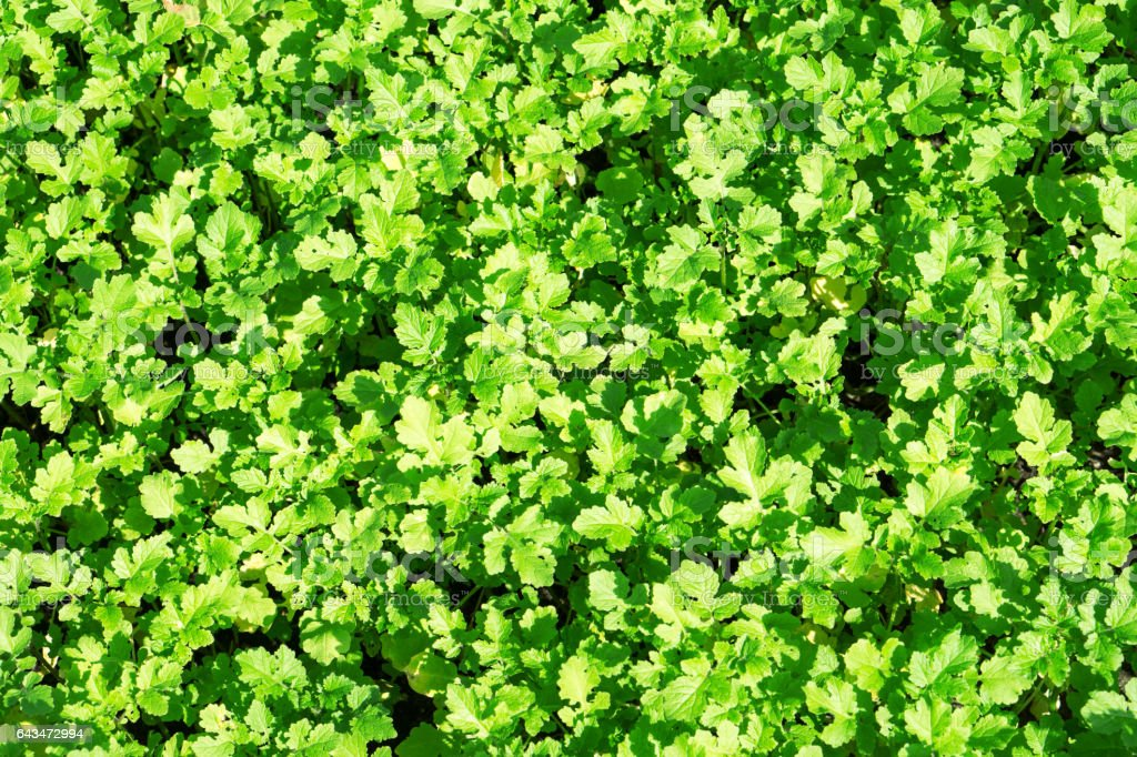 Field of green leaf mustard background stock photo