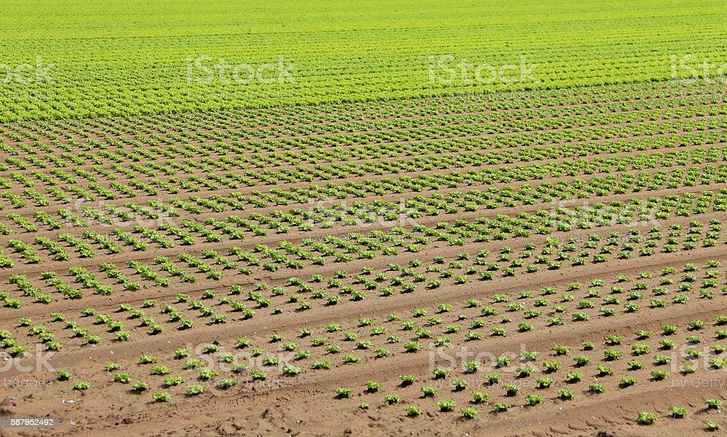 field of green lettuce grown on sandy soil in summer stock photo