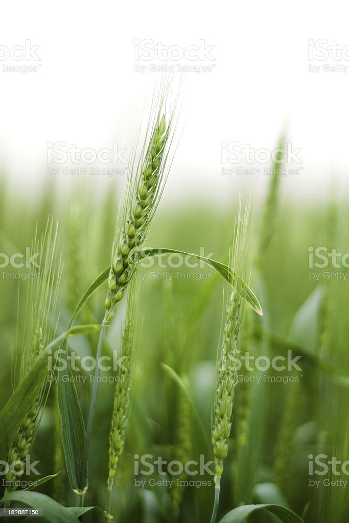 Field of green Wheat isolated on white royalty-free stock photo