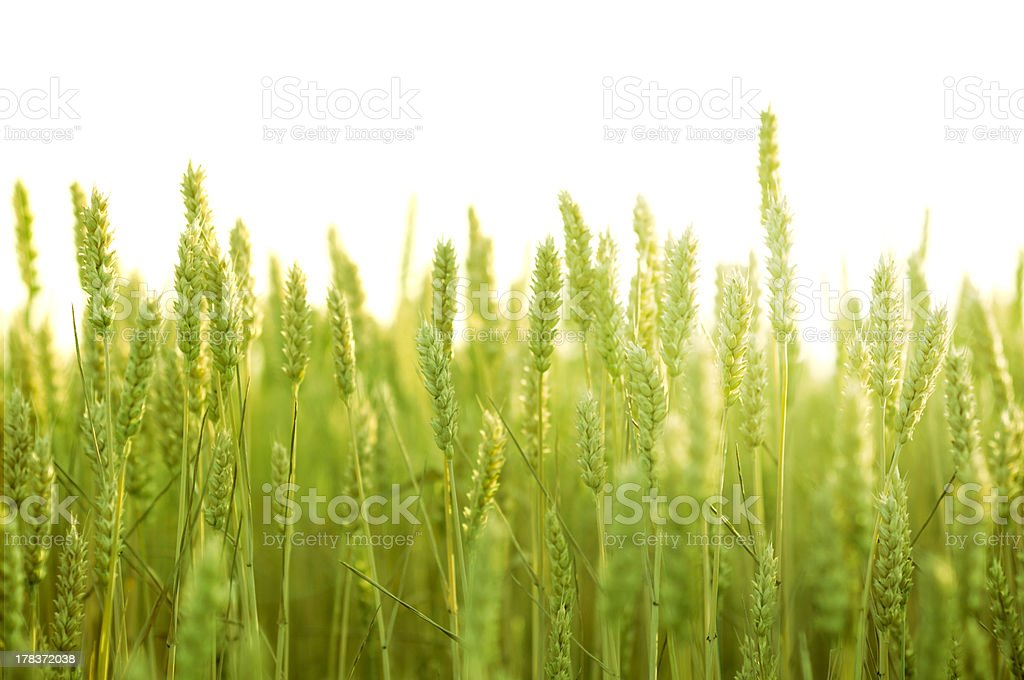 Field of green wheat royalty-free stock photo