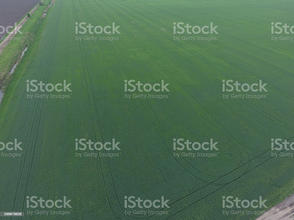 Field of green wheat stock photo