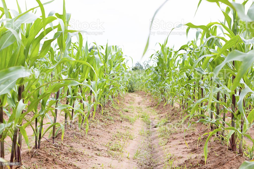 Field of healthly corn royalty-free stock photo