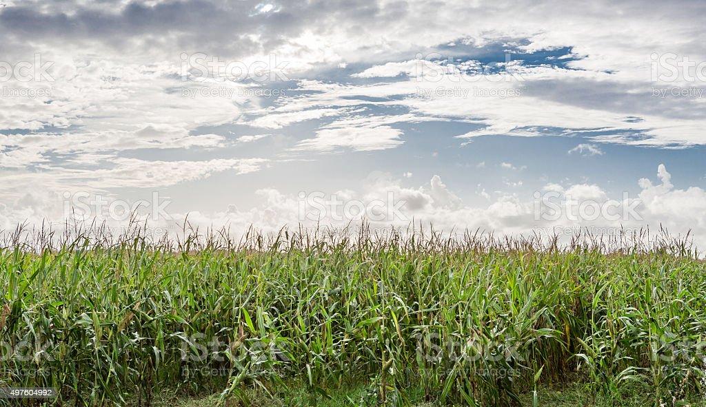 Field of healthly corn. stock photo