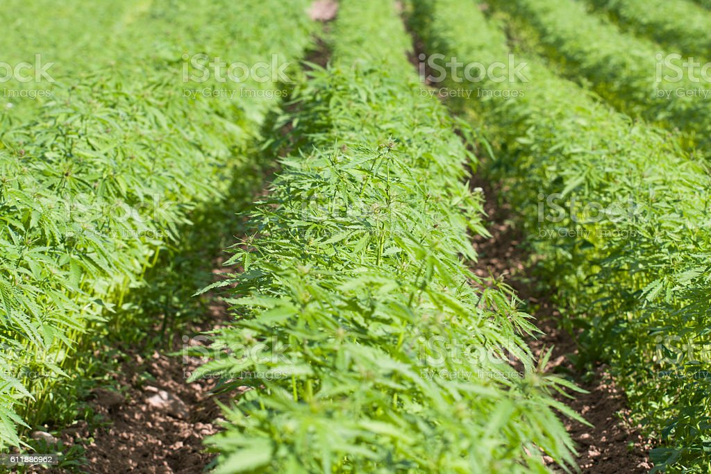 Field of hemp Cannabis Sativa stock photo