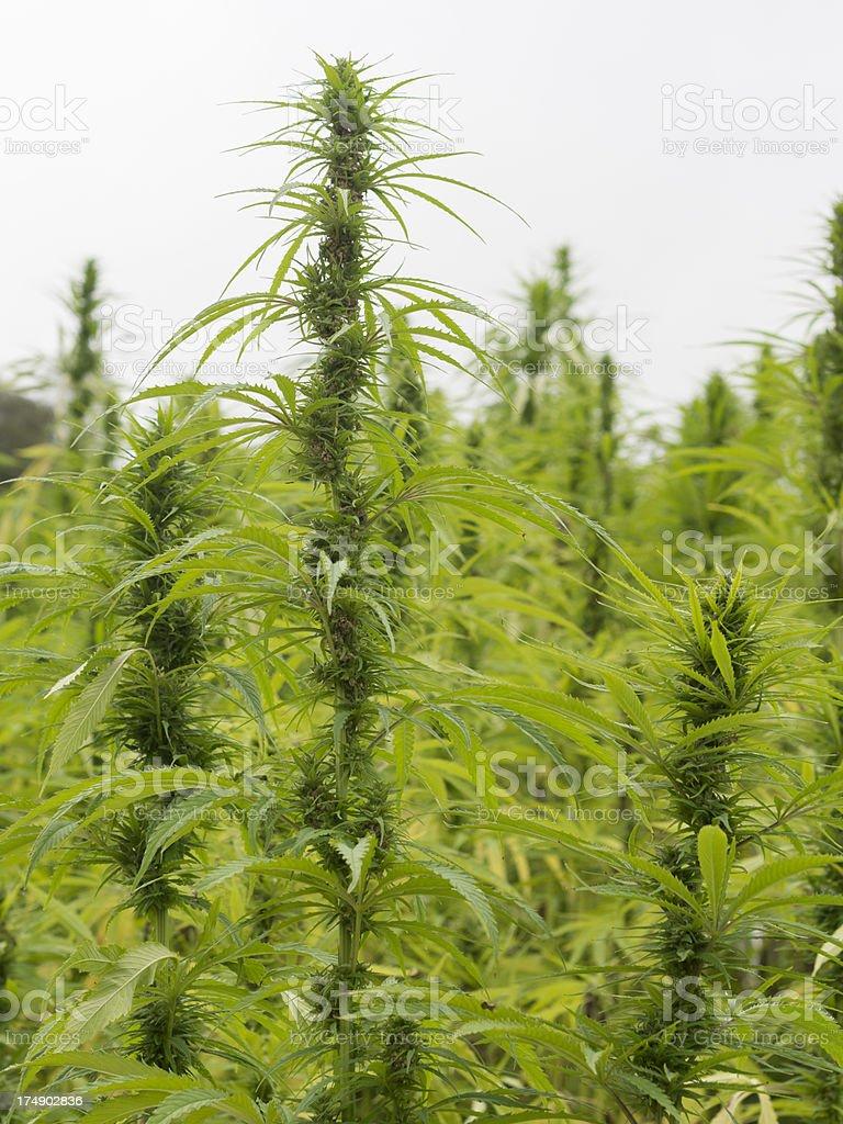 Field of hemp royalty-free stock photo